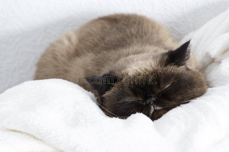 Egzotyczny krótkiego włosy kot relaksuje na białym futerku obraz royalty free