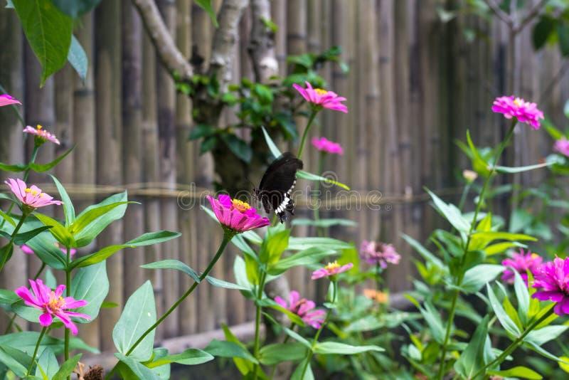 Egzotyczny motyl na kwiatach, piękny motyl i kwiat w ogródzie tropikalna Bali wyspa, Zamyka W górę motyla dalej zdjęcie stock