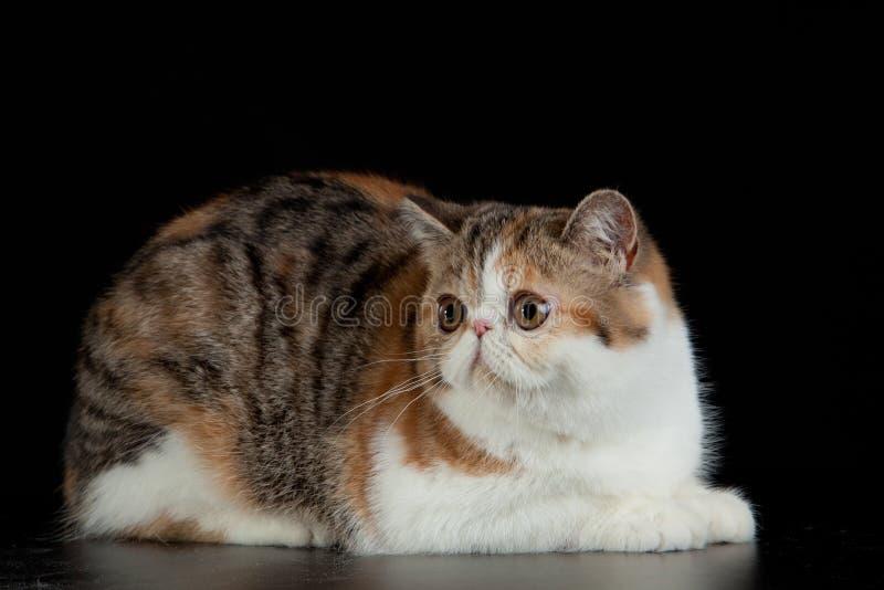 Egzotyczny Perski kot z dużymi pięknymi oczami na czarnym tle zdjęcia stock
