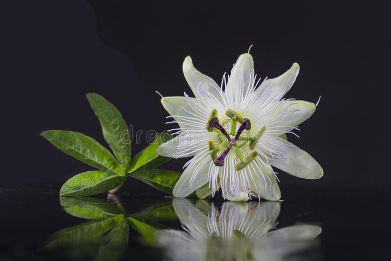 Egzotyczny piękny biały owocolistka kwiat Passiflora Foetida na czarnym tle fotografia royalty free