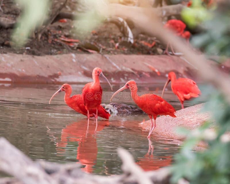 Egzotyczny rudopomarańczowy ptak w naturze przyroda fotografia stock