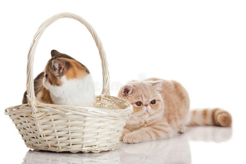 Egzotyczny shorthair kot.  Dwa kotów siedzieć zdjęcia stock
