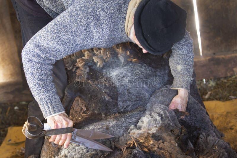 Ehrwürdiger Schafscherer, der Handwerkzeuge in einer Connecticut-Scheune verwendet stockfotos