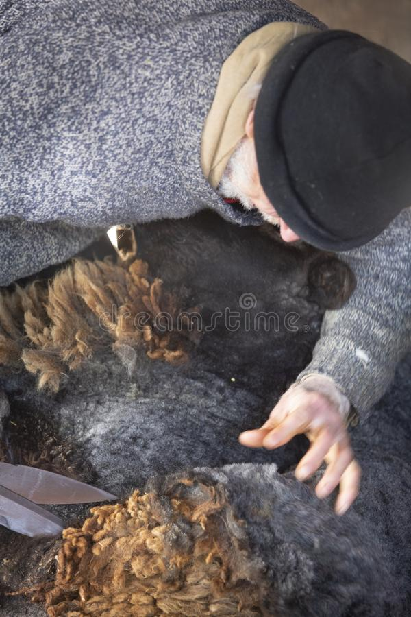 Ehrwürdiger Schafscherer, der Handwerkzeuge in einer Connecticut-Scheune verwendet lizenzfreie stockbilder