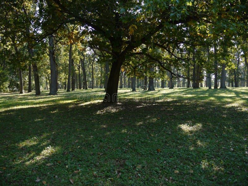Eiche mit dem großen Ausbreiten verzweigt sich in den Wald stockfotos