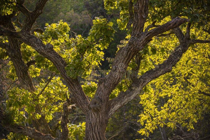 Eiche in Morton Forest lizenzfreies stockfoto