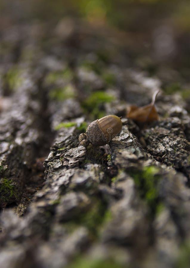 Eichel auf einem Baum-Klotz stockfotos