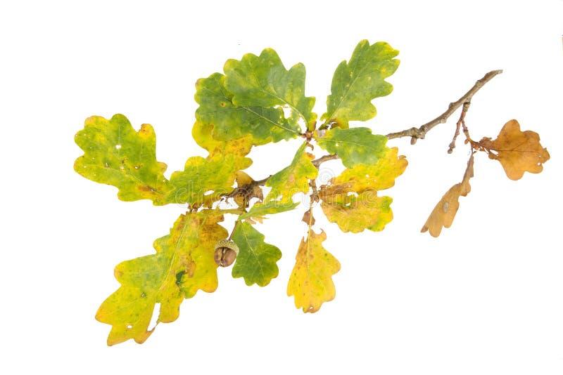 Eichel auf einem Herbstzweig stockfotos