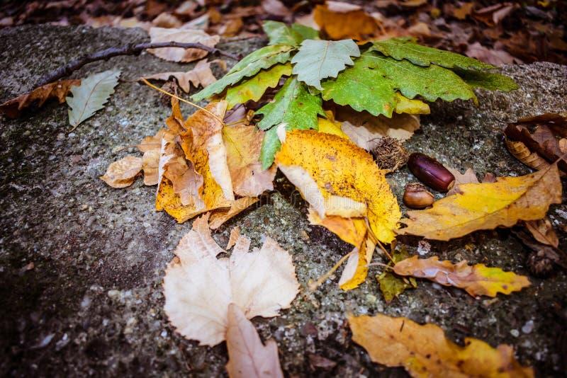Eichel und gefallene Blätter stockfotografie