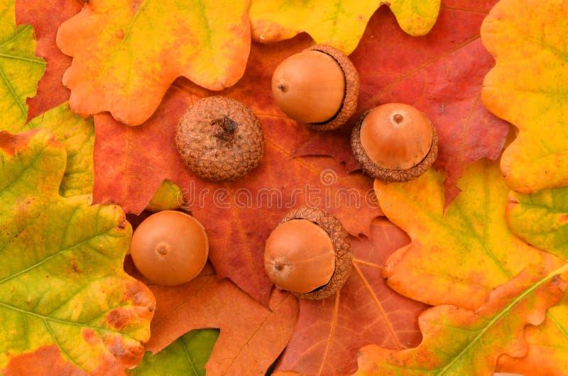 Eichel und Herbstlaub stockbilder