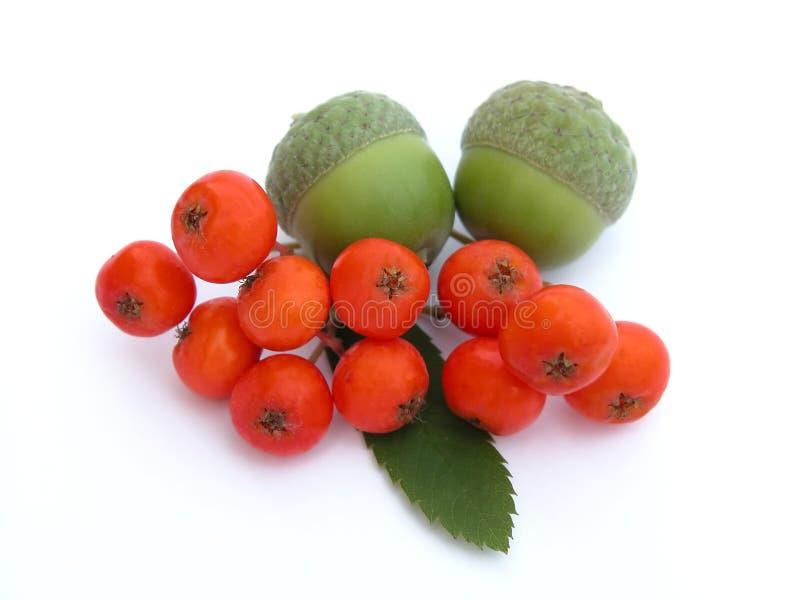 Eicheln und ashberry stockfotografie