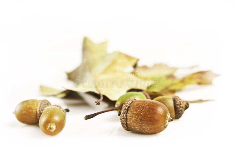 Eicheln und Blätter stockbild