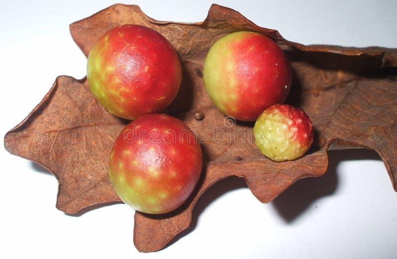 Eichenäpfel lizenzfreie stockbilder