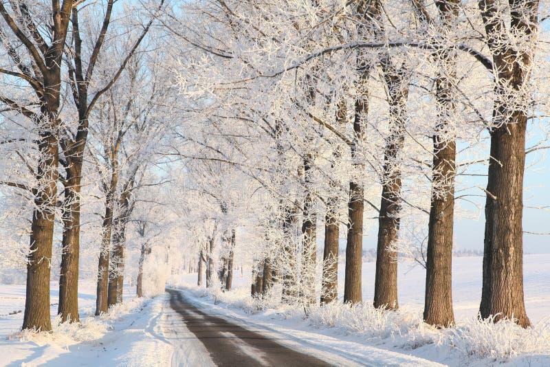 Eichen auf einem sonnigen Wintermorgen stockbild