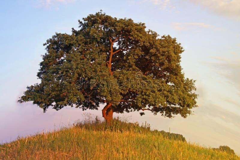 Eichen-Baum stockfotos