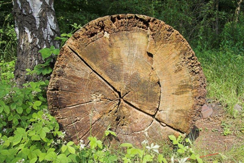 Eichen-Baum mit Jahresringen stockbilder
