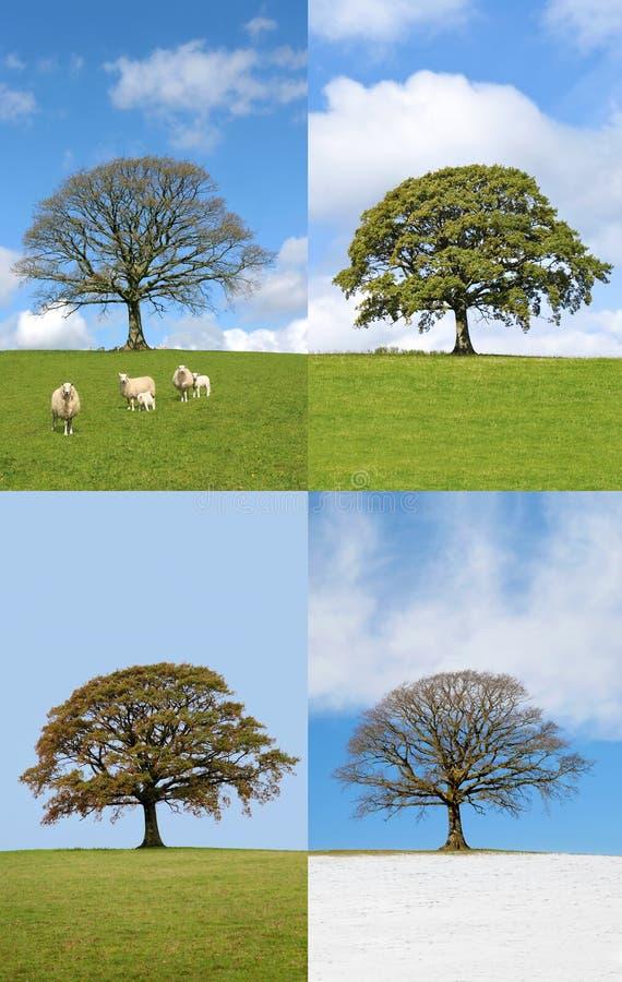 Eichen-Baum in vier Jahreszeiten stockbild