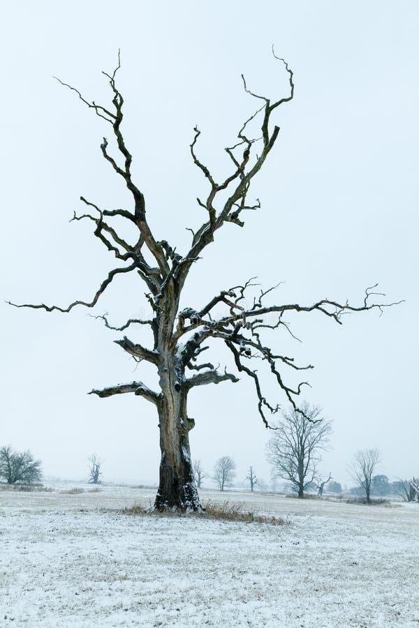 Download Eichen in der Winteraura stockbild. Bild von baum, exemplar - 96930129
