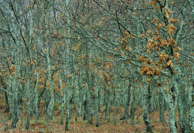 Eichen Sierra de Francia lizenzfreies stockbild