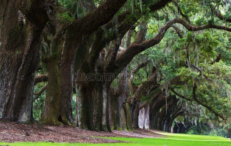 Eichen von Boone Hall Plantation in South Carolina lizenzfreies stockbild
