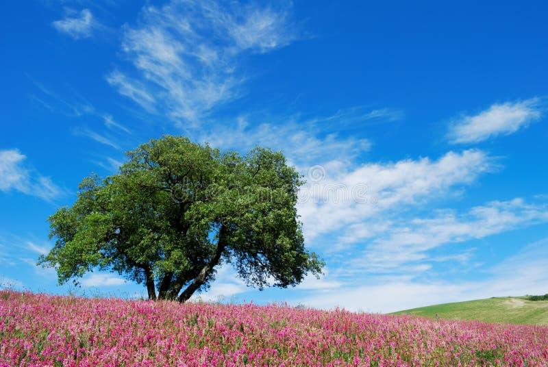 Eichenbaum auf dem geblühten Gebiet stockbilder