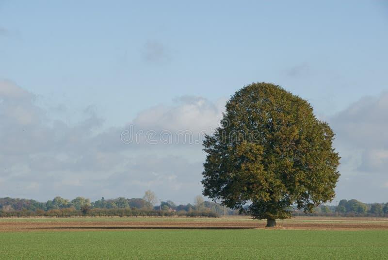 Eichenbaum im frühen Herbst lizenzfreie stockbilder