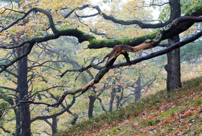 Eichenbaum im Herbst lizenzfreies stockbild