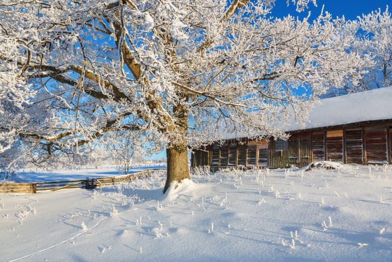 Eichenbaum mit Frost auf einem Bauernhof an einem kalten schönen Wintertag stockfoto