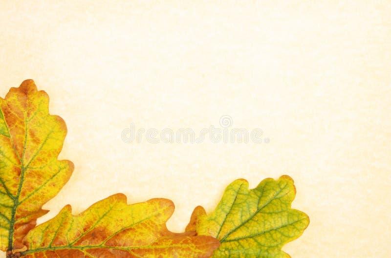 Eichenblätter auf Pergament stockfoto