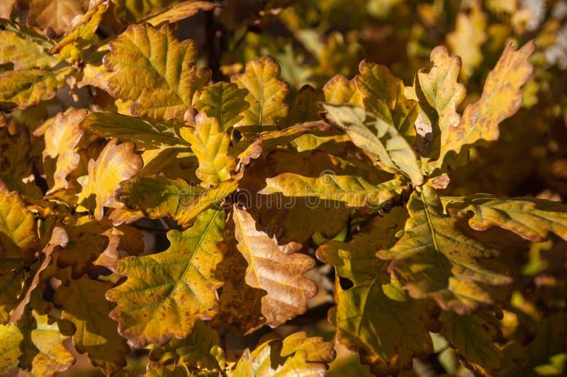 Eichenblätter im Herbst stockfotos