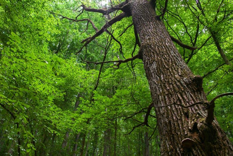 Eichenstamm auf einem Laubwald lizenzfreie stockfotografie