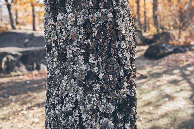 Eichenstammbeschaffenheit und -hintergrund mit Moos und Flechte Moosige Barkenbaumbeschaffenheit Abstrakte Beschaffenheit und Hin stockfotografie