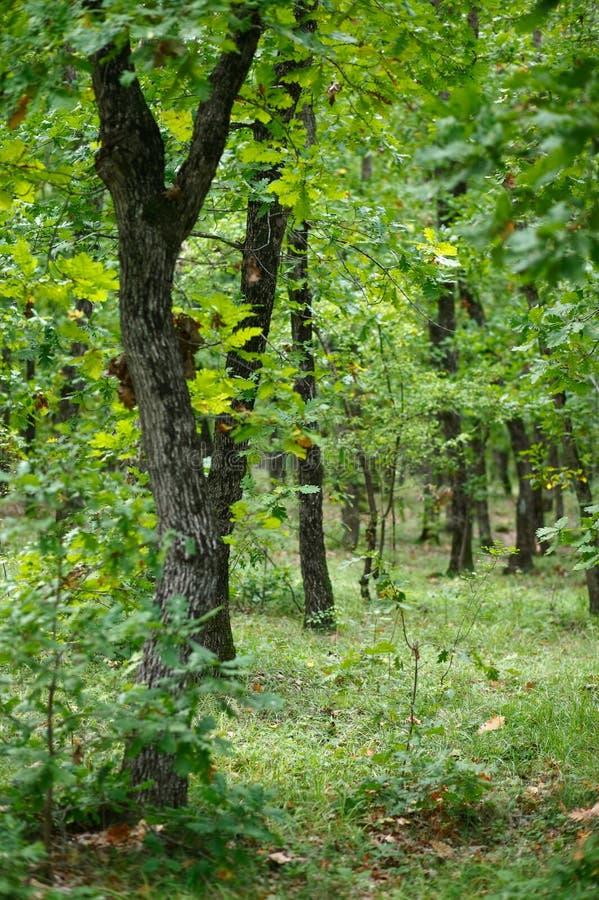 Eichenwald lizenzfreie stockbilder