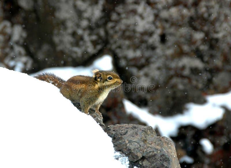 Download Eichhörnchen stockbild. Bild von klein, nagetier, leben - 12200901