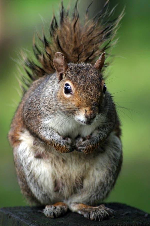 Download Eichhörnchen stockfoto. Bild von weich, eichhörnchen, york - 32298