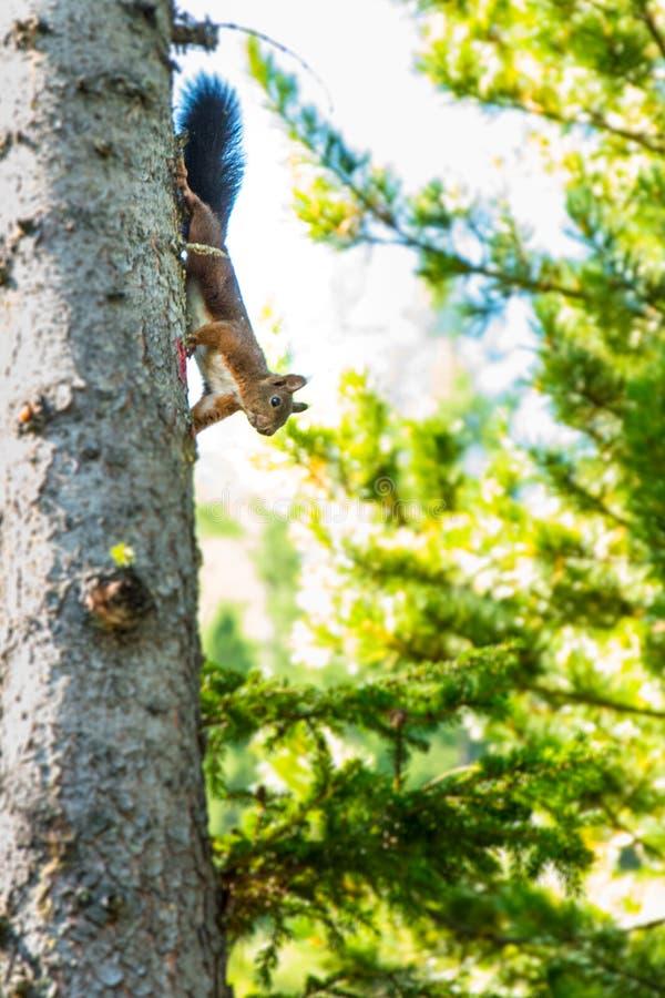 Eichhörnchen auf Baum lizenzfreie stockfotografie