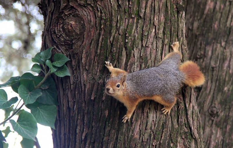 Eichhörnchen auf Baum lizenzfreies stockbild