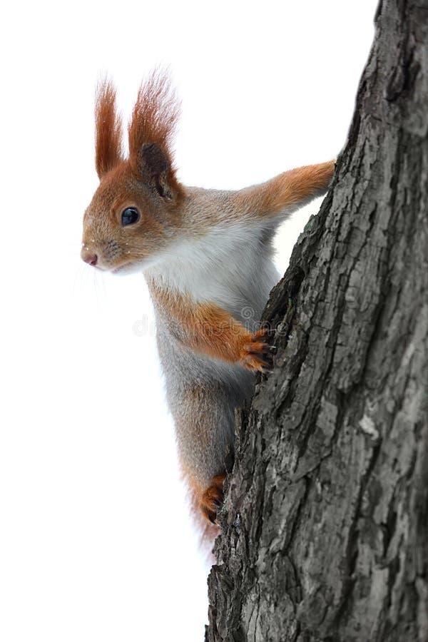 Eichhörnchen auf dem Baum lizenzfreies stockbild