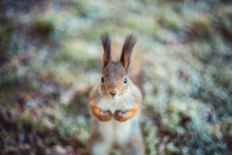 Eichhörnchen auf dem Gras bedeckt mit Reif lizenzfreie stockfotografie