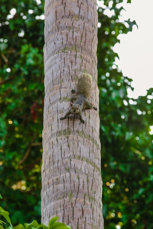 Eichhörnchen auf dem Kokosnuss-Baum, Eichhörnchen schaut Kamera vom Kokosnuss-Baum stockbild