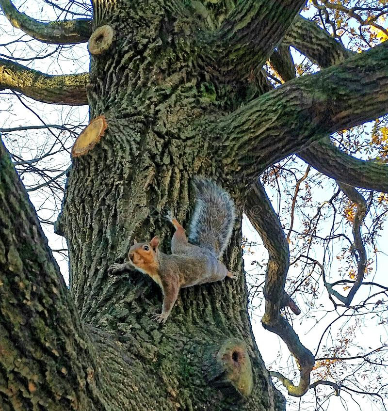 Eichhörnchen auf Eiche stockfoto