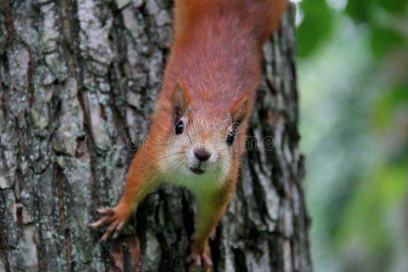 Eichhörnchen auf einem Baum stockbilder