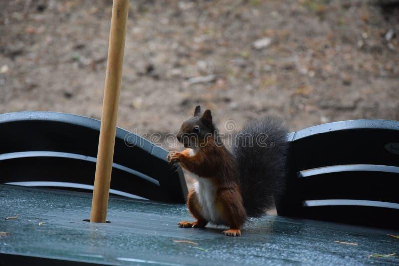 Eichhörnchen auf einem Gartentisch stockbild