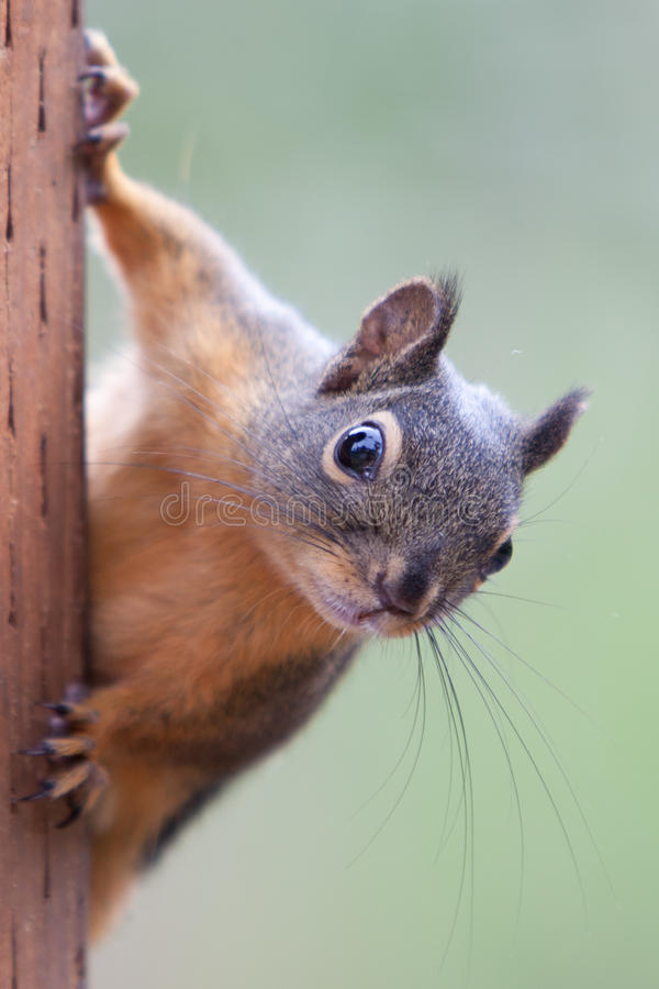 Eichhörnchen auf einem Pfosten stockfotos