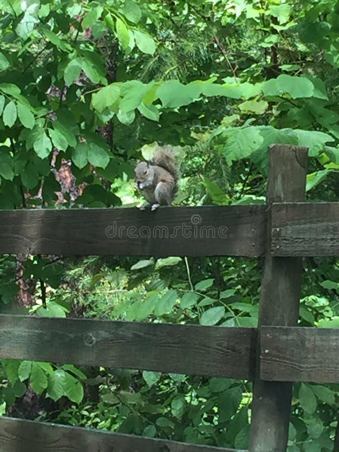 Eichhörnchen auf einem Zaun stockfoto
