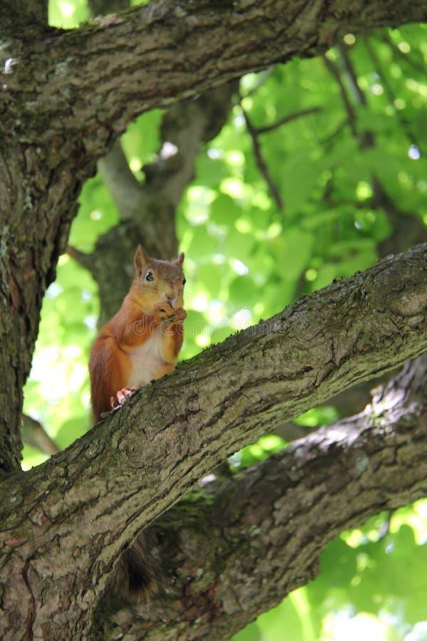 Eichhörnchen auf einer Niederlassung lizenzfreies stockbild