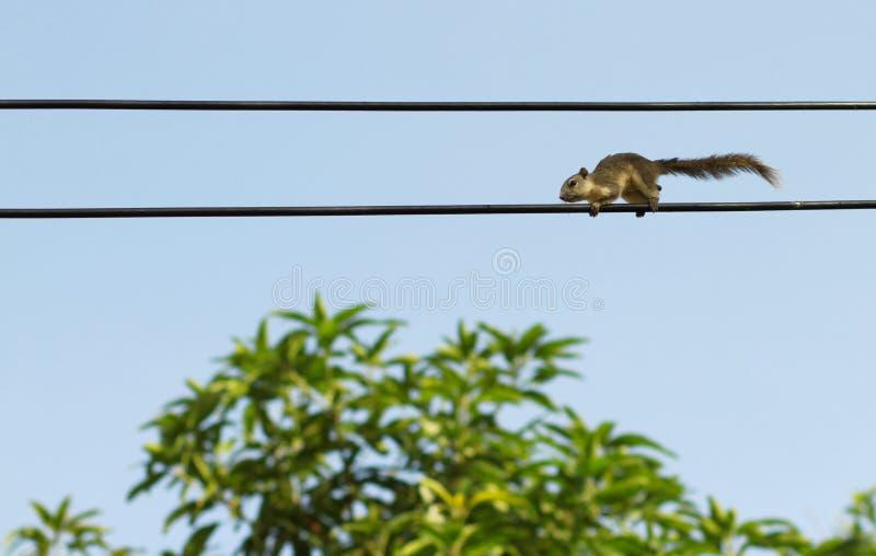 Eichhörnchen auf elektrischen Leitungen lizenzfreies stockfoto