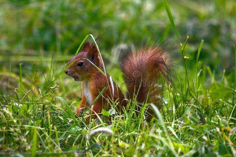 Eichhörnchen auf Waldrasen, stockfotografie