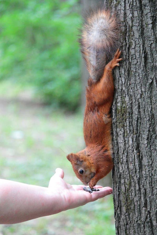 Eichhörnchen am Baum lizenzfreie stockbilder