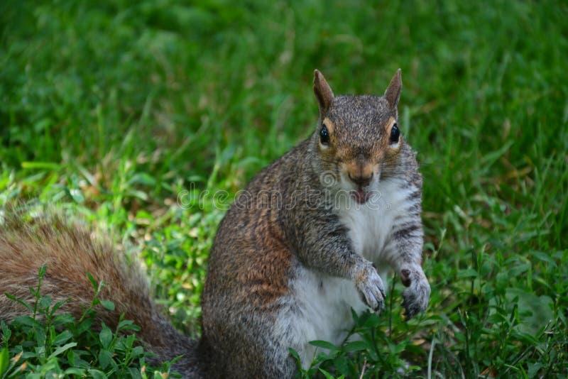 Eichhörnchen in Boston stockfoto